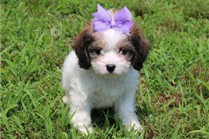 Daisy - Cavachon for sale