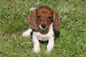 Sophie - Dachshund for sale