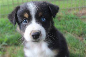 Lacey - Australian Shepherd for sale