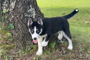 Cera - Siberian Husky for sale