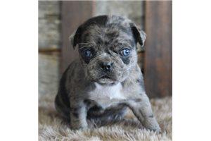 Tilly - Pug for sale