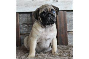 Finn - Pug for sale
