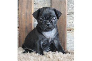 Josh - Pug for sale