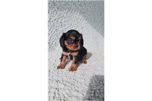 Ace - Cavalier King Charles Spaniel for sale