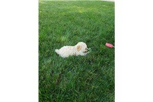Beauty - Poodle, Miniature for sale