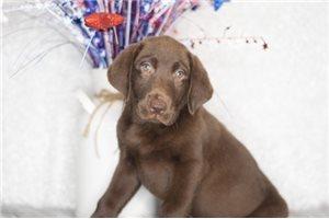 Fae - Labrador Retriever for sale