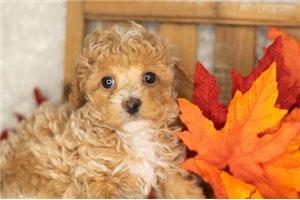 Levi - Poodle, Toy for sale