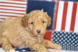 Ryder - Poodle, Toy for sale