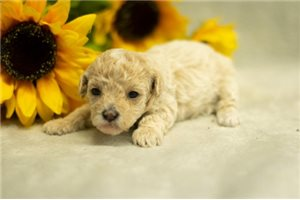 Isabella - Poodle, Toy for sale