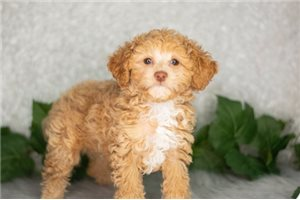 Rider - Poodle, Toy for sale