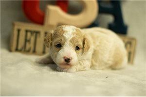 Iven - Poodle, Toy for sale