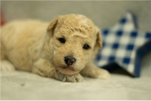 Issac - Poodle, Toy for sale