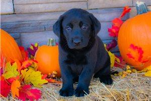 Rosalie - Labrador Retriever for sale