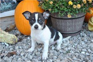 Hutch - Chihuahua for sale