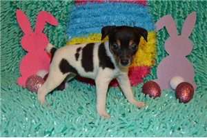 Olivia - Fox Terrier, Toy for sale