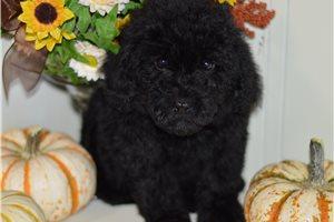 Aubri - Poodle, Miniature for sale