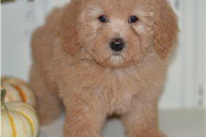 April - Poodle, Miniature for sale