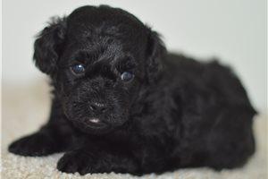 Kayden - Poodle, Toy for sale