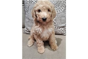 Shadow - Poodle, Standard for sale