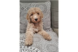 Snowflake - Poodle, Standard for sale
