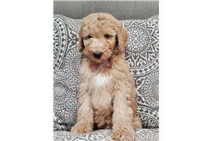 Sunshine - Poodle, Standard for sale