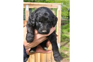 Lucy - Labradoodle for sale