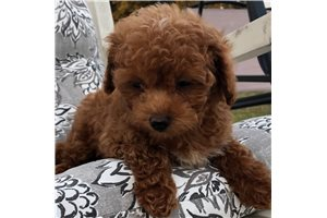 Georgie - Poodle, Toy for sale