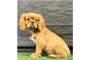 Mr Red - Cavalier King Charles Spaniel for sale