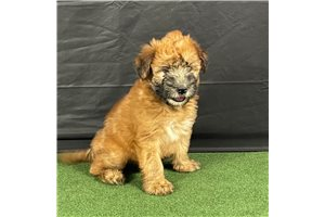 Miss  Tania - Soft Coated Wheaten Terrier for sale
