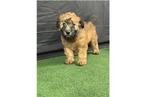 Miss Delia - Soft Coated Wheaten Terrier for sale