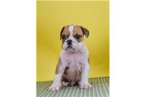 Sonnie - English Bulldog for sale