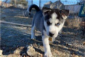 Petree - Siberian Husky for sale
