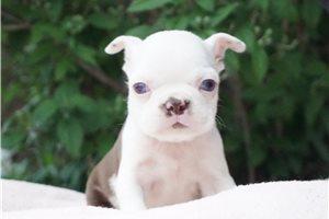 Piper - Boston Terrier for sale