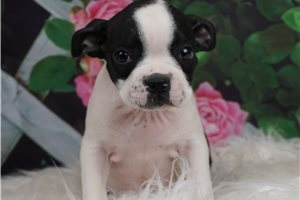 AKC Josie - Boston Terrier for sale