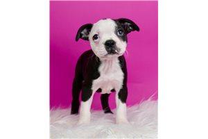 Ryker - Boston Terrier for sale