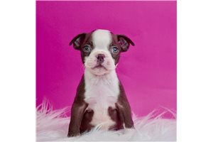 Frankie - Boston Terrier for sale