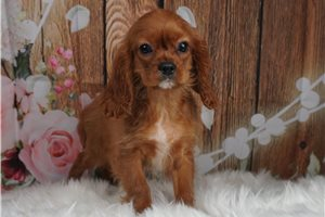 Perry - Cavalier King Charles Spaniel for sale