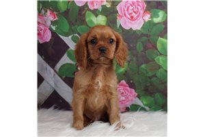 Sly - Cavalier King Charles Spaniel for sale