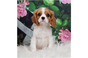 AKC CH Chevy - Cavalier King Charles Spaniel for sale