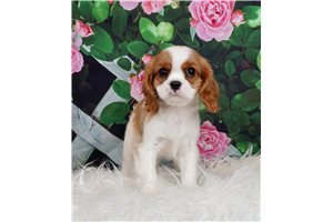 AKC CH Tubby - Cavalier King Charles Spaniel for sale