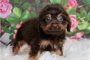 Toy Reece - Cavapoo for sale