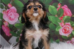 Toy Cindy - Cavapoo for sale