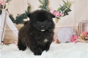 Roy - Pomeranian for sale