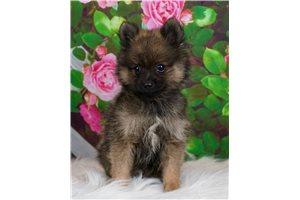 Carvey - Pomeranian for sale