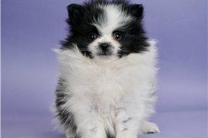Sammie - Pomeranian for sale
