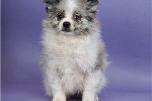 Silver - Pomeranian for sale