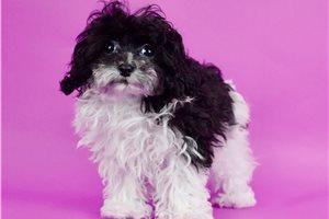 Wonka - Poodle, Miniature for sale