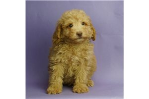 Jay Jay - Poodle, Miniature for sale