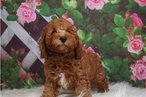 Rugby - Poodle, Miniature for sale
