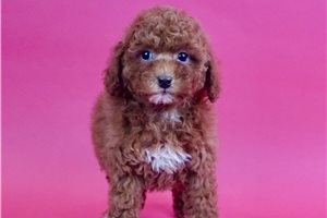 Moscato - Poodle, Miniature for sale